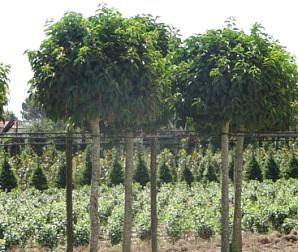 catalogo piante ornamentali: alberi sempre verdi e a foglia caduca ... - Piante Sempreverdi Da Esterno Con Fiori